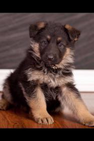 Puppy Agnes 3 weeks to 10 wks EARS!-agnes-5-weeks.jpg