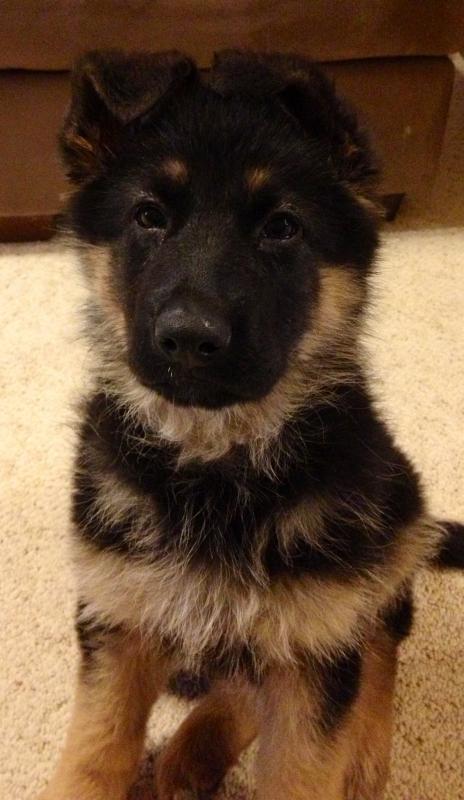 Puppy Agnes 3 weeks to 10 wks EARS!-agnes-8-weeks.jpg