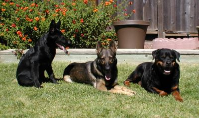 Does anyone on here own a Rottweiler along with your German Shepherds?-all3.jpg