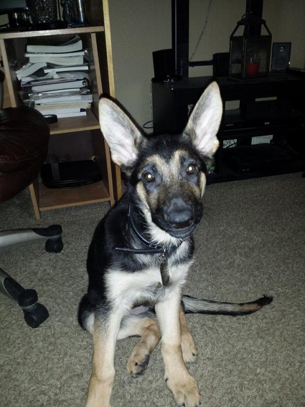 12 week old puppy training needs-archon.jpg