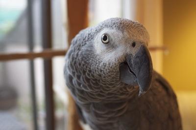 African Grey Parrot-bea1.jpg