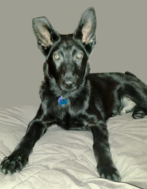 Beth here with Jack - my Black GSD-bed2.jpg
