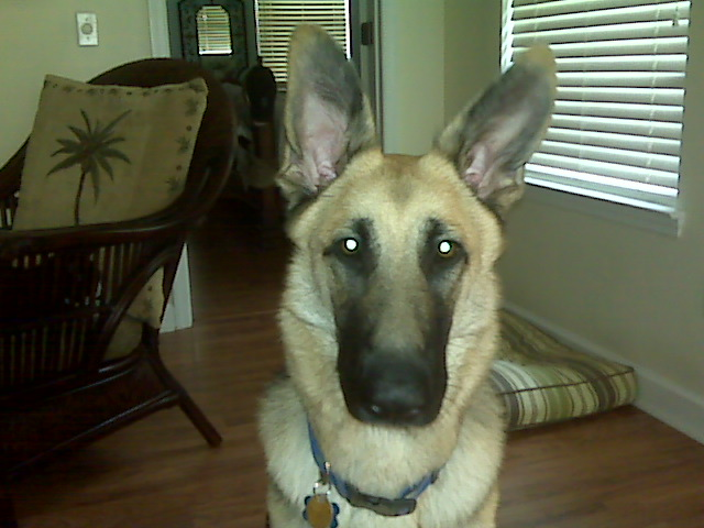 Any hope for a 15 month old with one floppy ear?-blue-pic-1.jpg