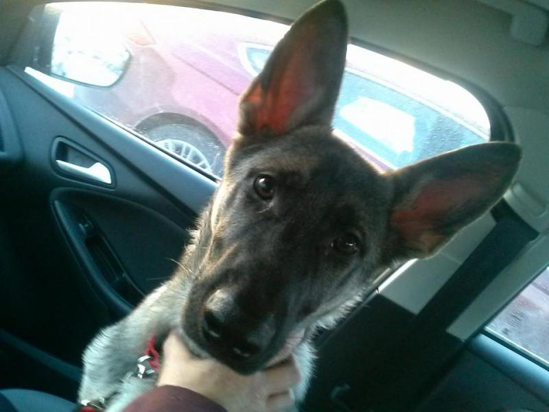 Bandit and his parents-bnadit-4-months-big-ears.jpg