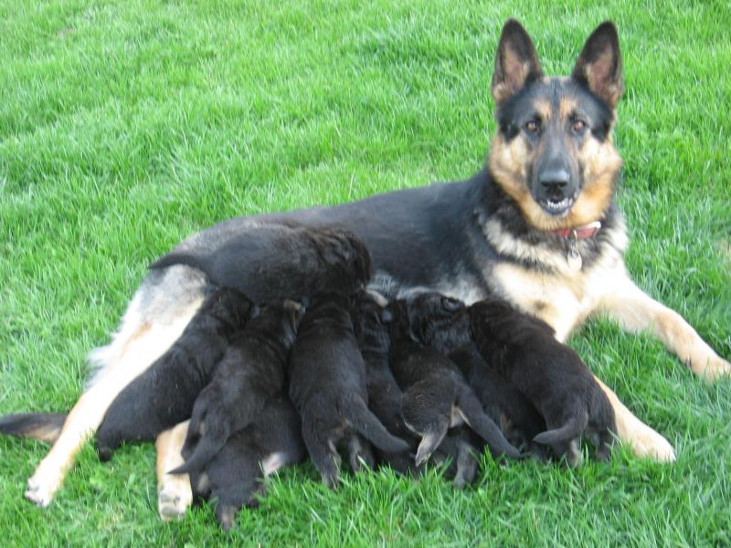 (Sire)American Shepherd?-brigitta-dam-.jpg