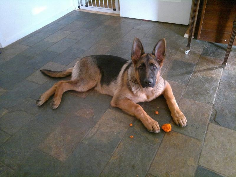 Will my 6 month old GSD male's head grow larger?-buster-5-months-old-red30-.jpg