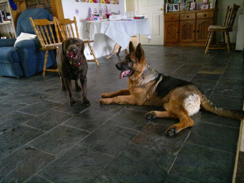 Will my 6 month old GSD male's head grow larger?-buster-6-months-old-best-friend-milo-reduced-30-.jpg