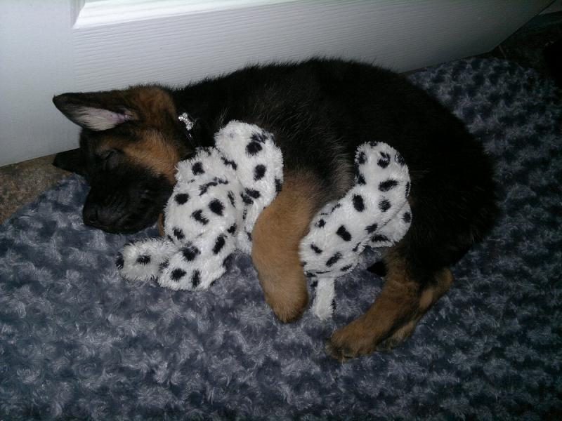 Is my dog a sable or black and red/tan?-buster-9-weeks-old-cuddling-toy.jpg