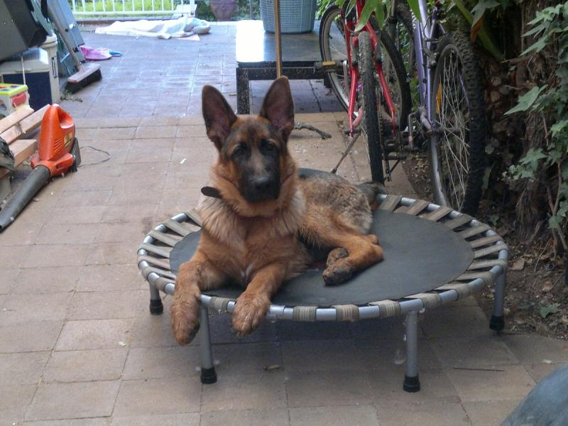 Is my dog a sable or black and red/tan?-buster-small-trampoline.jpg