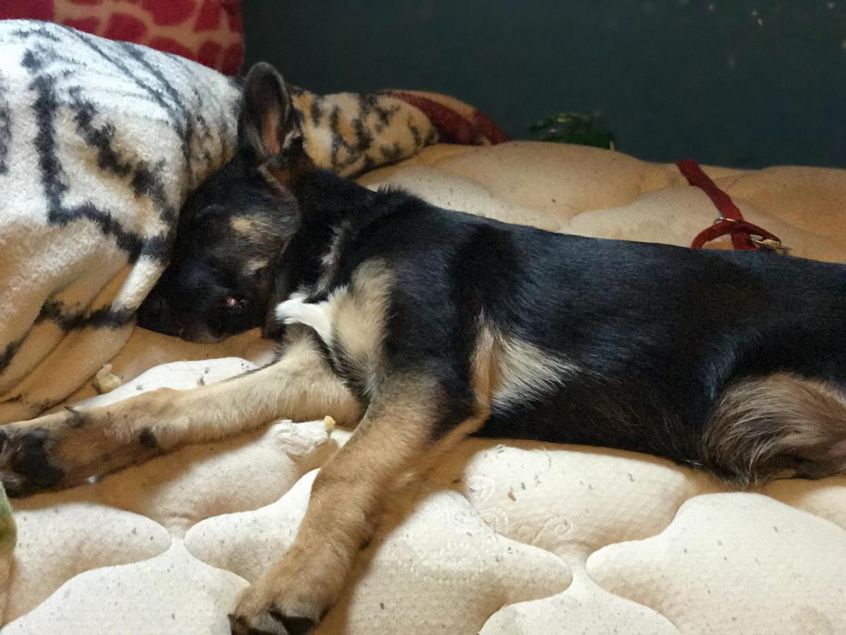 My German Shepherd Mix With A Border Collie German Shepherd Dog Forums