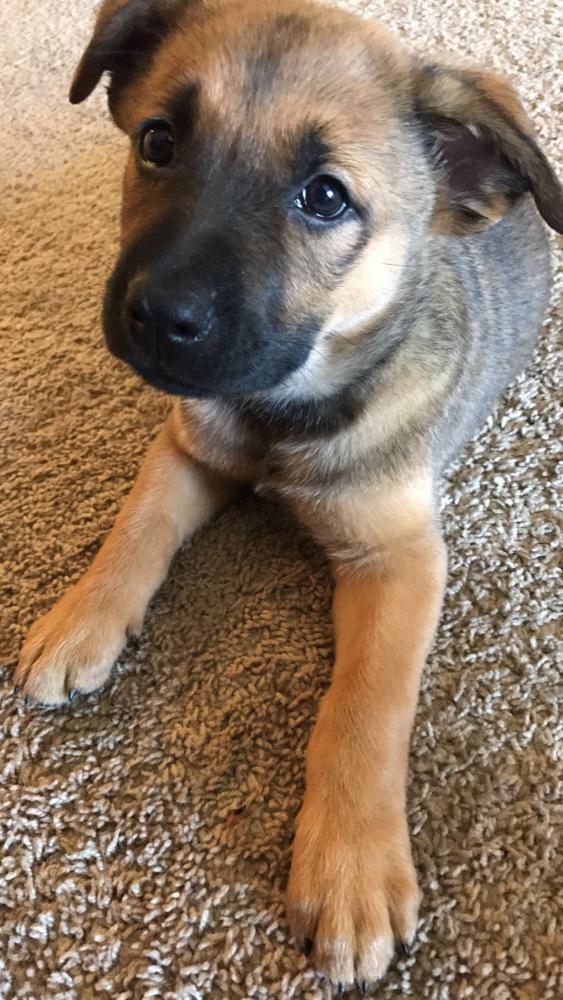 New German Sheperd Lab Mix Puppy 12 Weeks Old Help German
