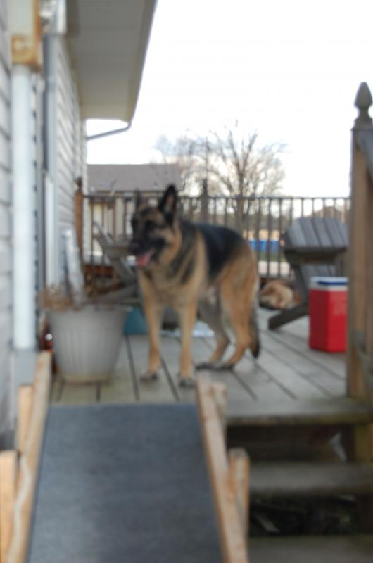 Tips for dog ramp for senior dog-christmas-2011-014.jpg