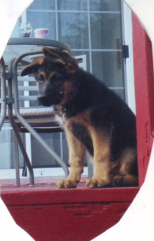 Bicolor or Black&Tan puppy? Please help-cutter-1.jpg