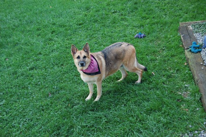 Show me your Elder GSDs...-daisy-lucky-003.jpg