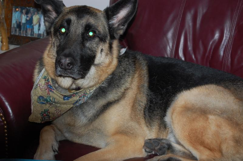 SHOW ME: Those GSD eyes!!-daisy-lucky-076.jpg