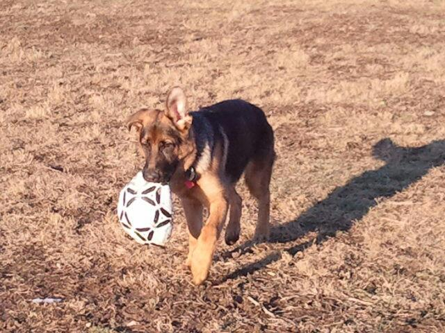 Show me your GSD at 4-5 months old!-dog-park1.jpg