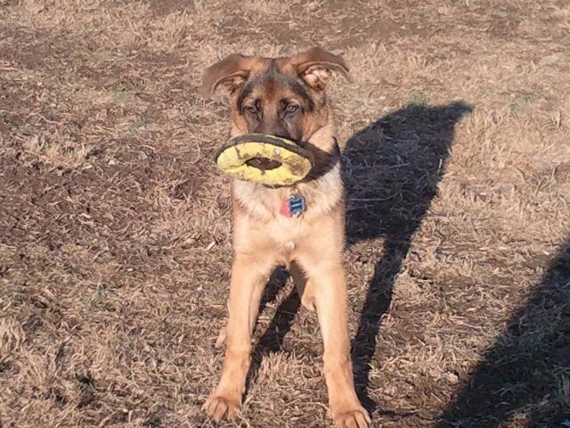 Show me your GSD at 4-5 months old!-dog-park2.jpg
