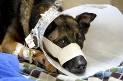 Retired K9 shot in his own home!-drake.jpg