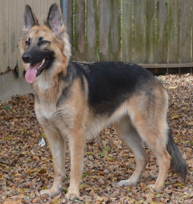 Shepherd: How to handle an Overly Aggressive German Shepherd Dog