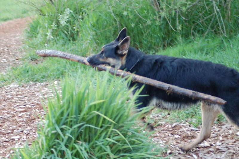 Does your GSD do this?-dsc_0047.jpg