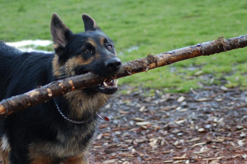 Does your GSD do this?-dsc_0050.jpg