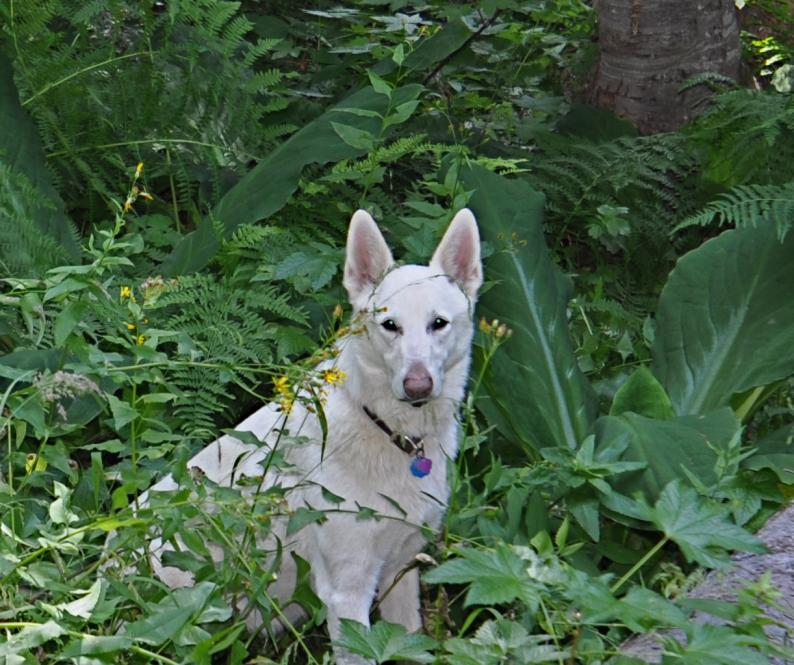 Lost White German Shepherd Oakridge,OR-dsc_0067.jpg