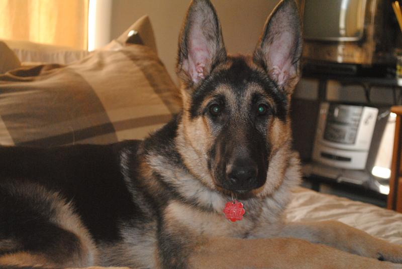 Show me your GSD at 4-5 months old!-dsc_0412.jpg