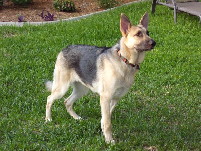 Faded Black And Tan German Shepherd