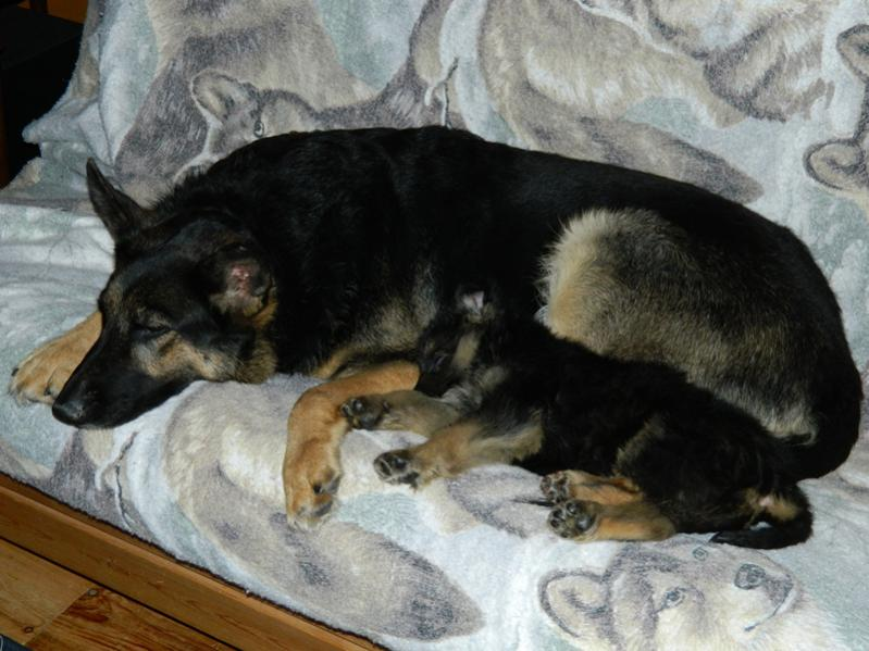 Our 4 1/2 yr old GSD Raven and the new 11 wk old puppy Serge-dscn1688.jpg