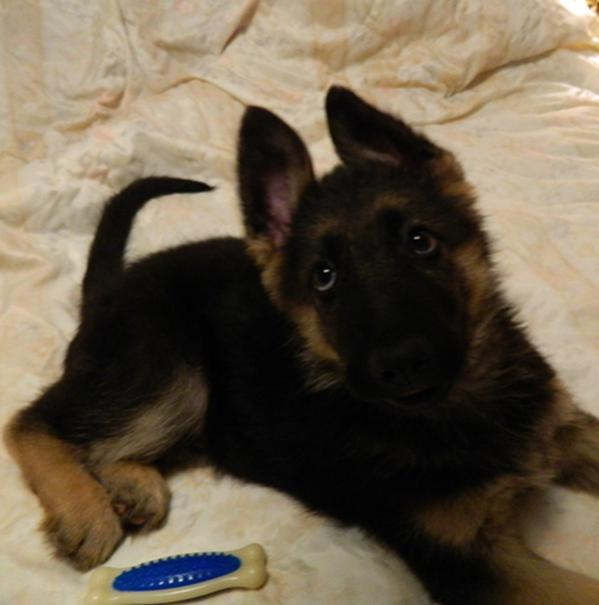 Our 4 1/2 yr old GSD Raven and the new 11 wk old puppy Serge-dscn1760-crop.jpg