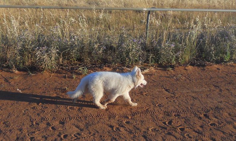 Meet Esmerala, my 11 week old white shepherd-dscn6640-2.jpg