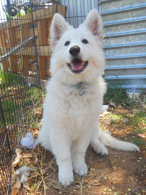Meet Esmerala, my 11 week old white shepherd-dscn6835-2.jpg