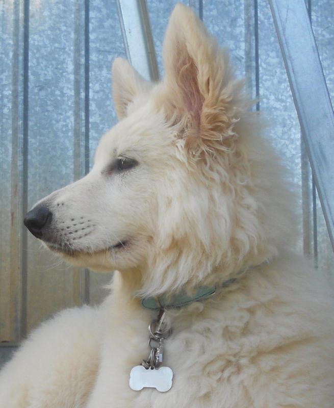 Meet Esmerala, my 11 week old white shepherd-dscn6879-2editted.jpg
