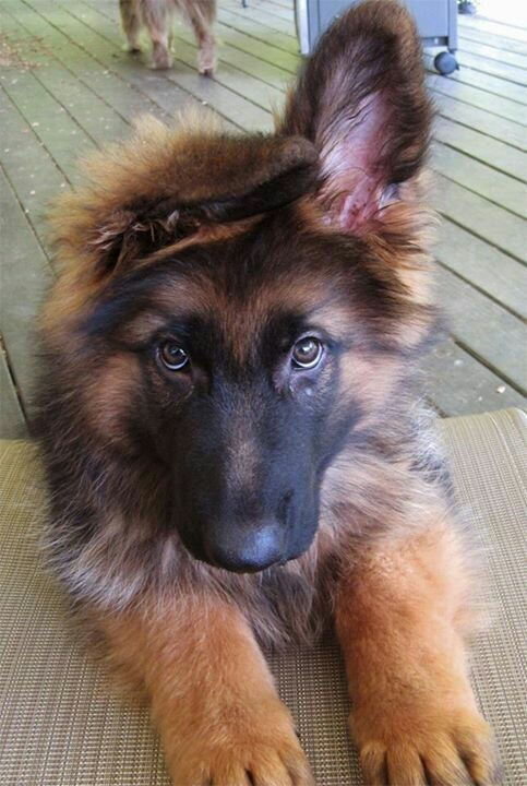 when do long haired gsds fur grown out german shepherd