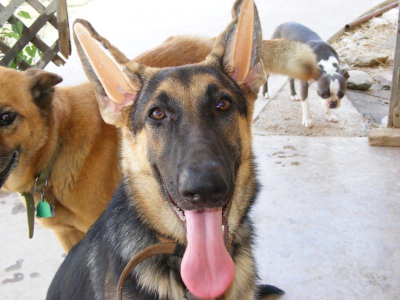 Ear Forms In German Shepherd Dog Forums