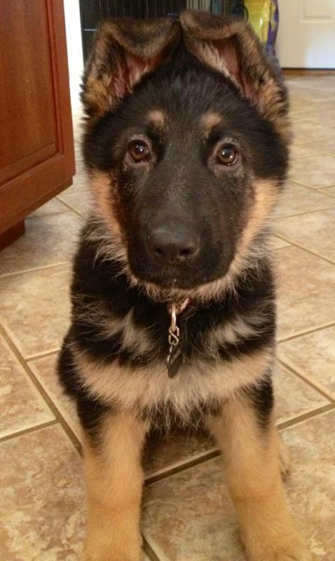 Puppy Agnes 3 weeks to 10 wks EARS!-ears-10-weeks.jpg