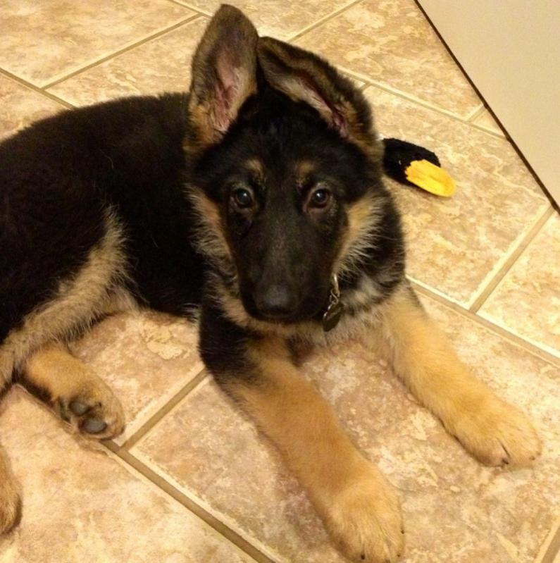 Puppy Agnes 3 weeks to 10 wks EARS!-ears-new-years.jpg