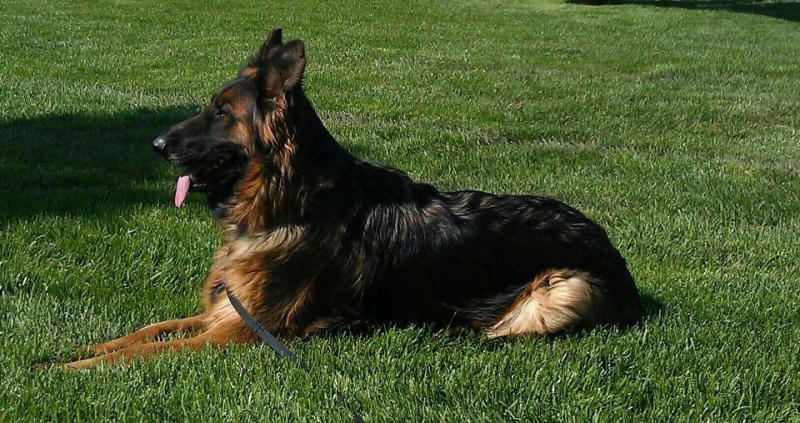 My new puppy, Frei vom der Gugge bloodline-faygo-grass-nelson-atkins-museum.jpg
