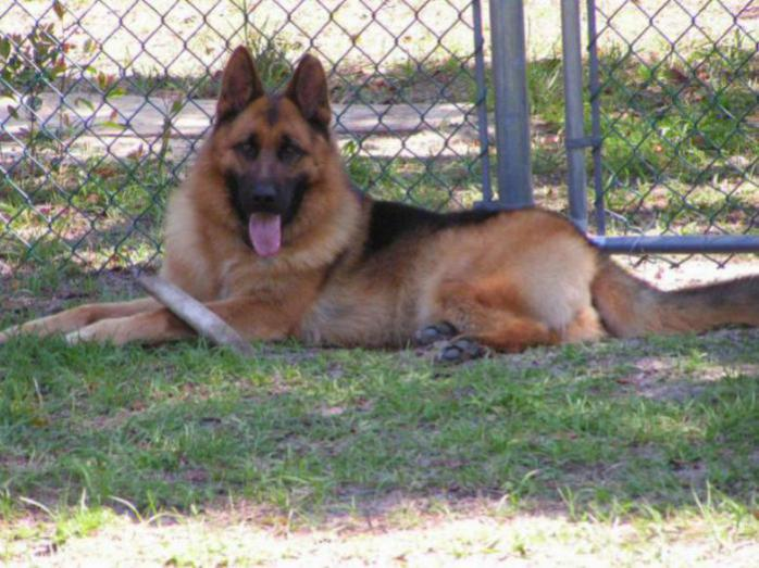 People who have plush fur German Shepherds please reply-fb_img_1442426189334_1443652395840.jpg