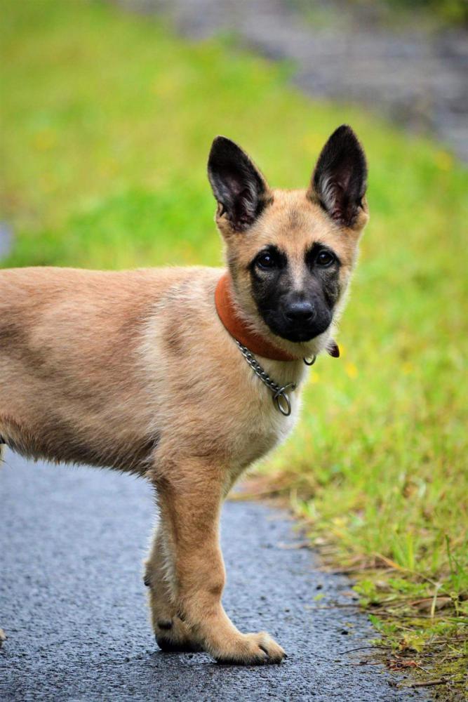 German Shepherd Malinois German Shepherd Dog Forums
