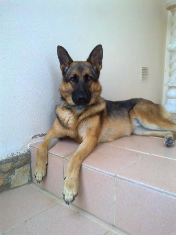 Is my female German Shepherd a sable?-foto0077.jpg