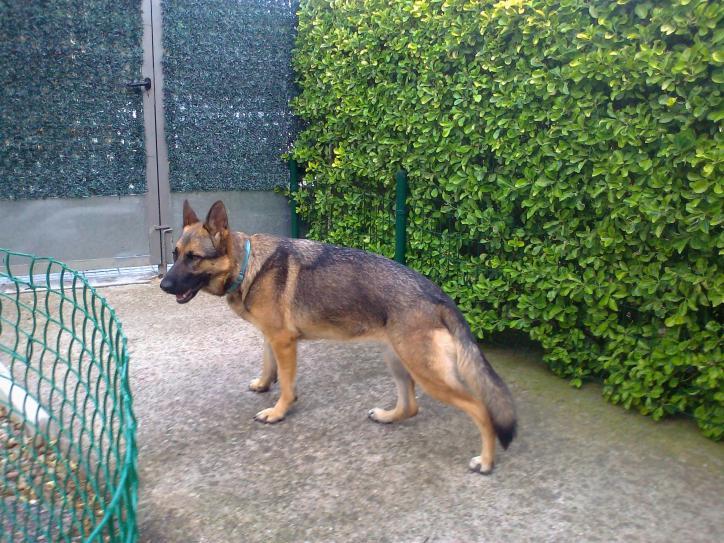 Is my female German Shepherd a sable?-foto0078.jpg