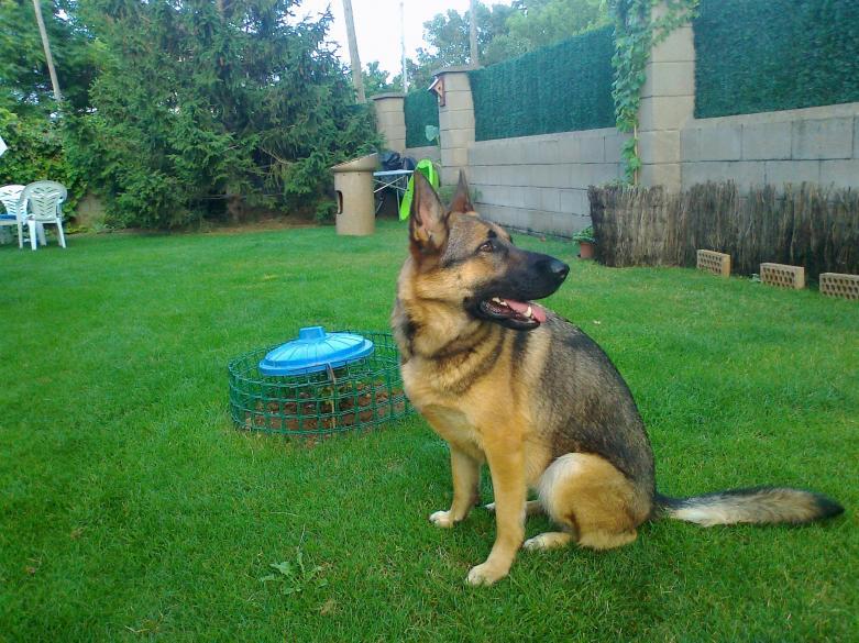 Is my female German Shepherd a sable?-foto0084.jpg