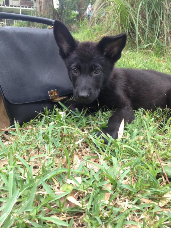 German Shepherd Female - needs a temporary home (Australia)-fox-3.jpg