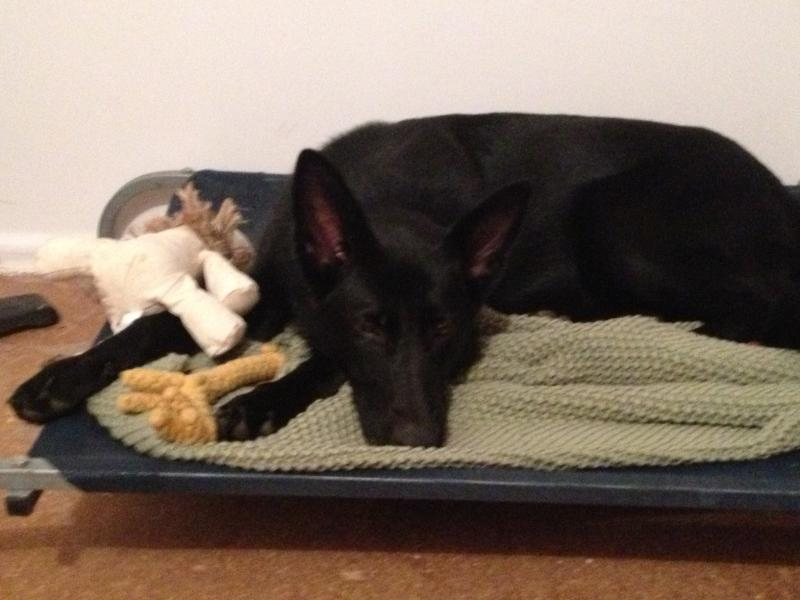 German Shepherd Female - needs a temporary home (Australia)-fox-7.jpg