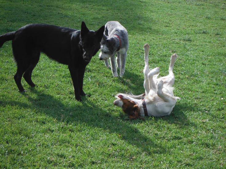 German Shepherd Female - needs a temporary home (Australia)-fox11111111.jpg