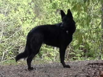 GSD and Malinois, anything else in here?-frankie-2014.jpg