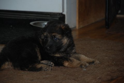 New puppy is coming home and its a GSD :)-fur3.jpg
