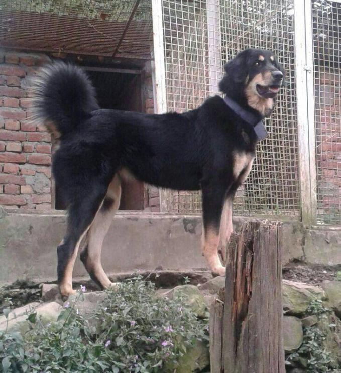 Gaddi Dog Pictures