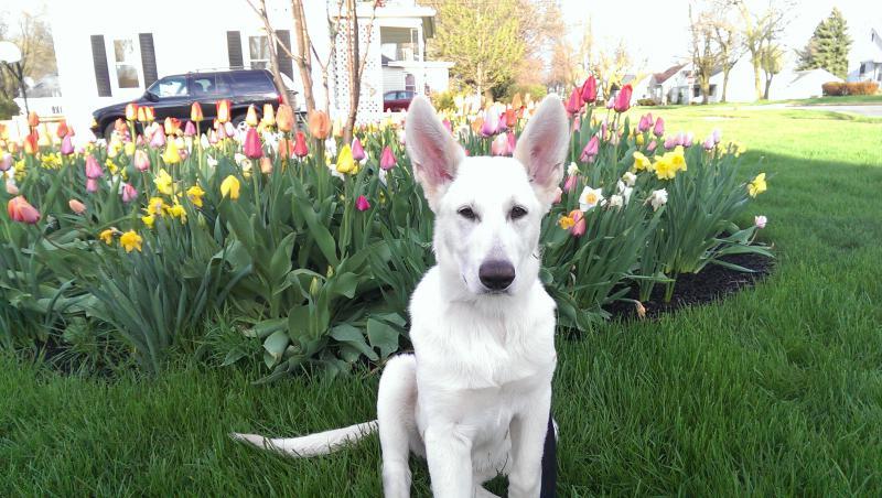 17 weeks old-geist-tulip-2014.jpg